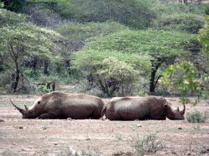 Rhinos en posicion de proteccion