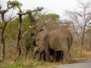 Elefantes comiendo