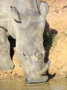 Rhino bebiendo